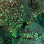 オオカワリイソギンチャク発見!紀伊半島のみなべで潜ってきました!