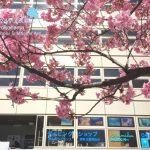 横浜のお店の前の桜が人気者☆