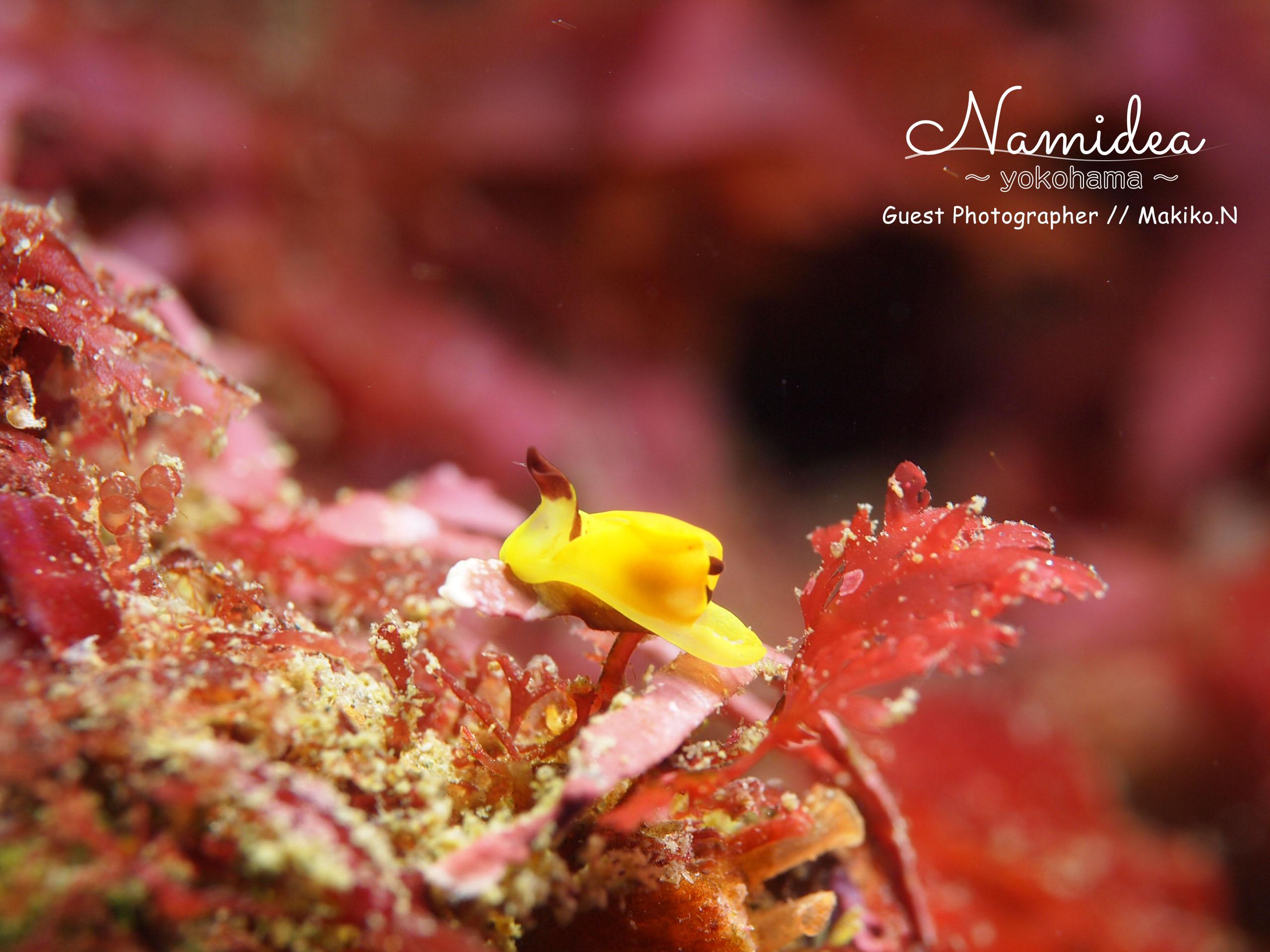 浮島のウミウシ