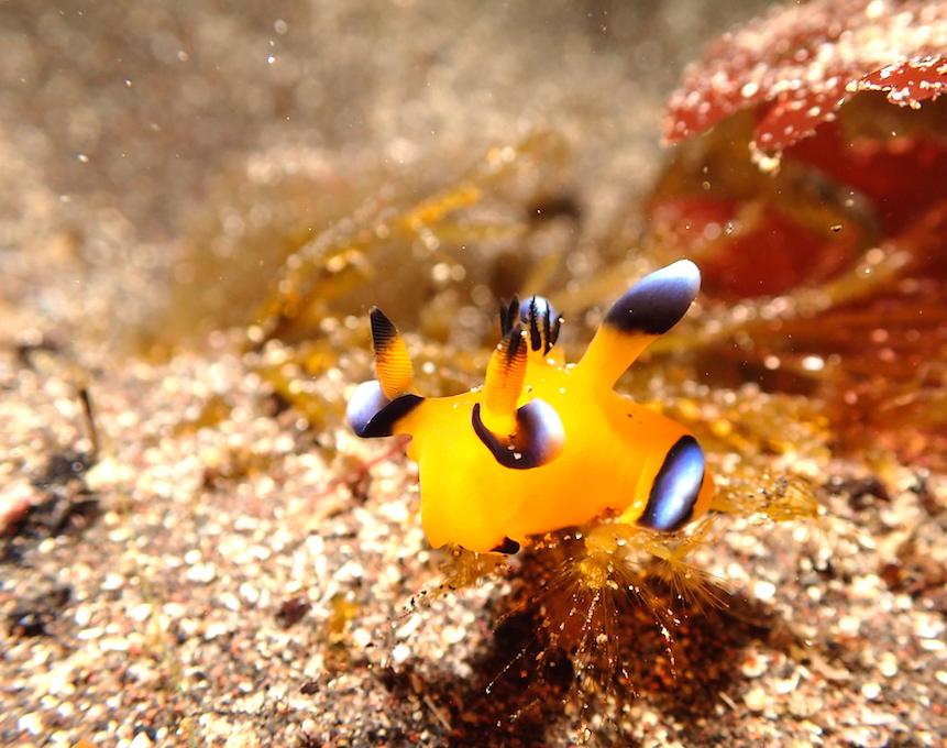 大瀬崎の海のウミウシ