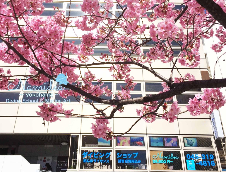 横浜のお店の前は桜が満開