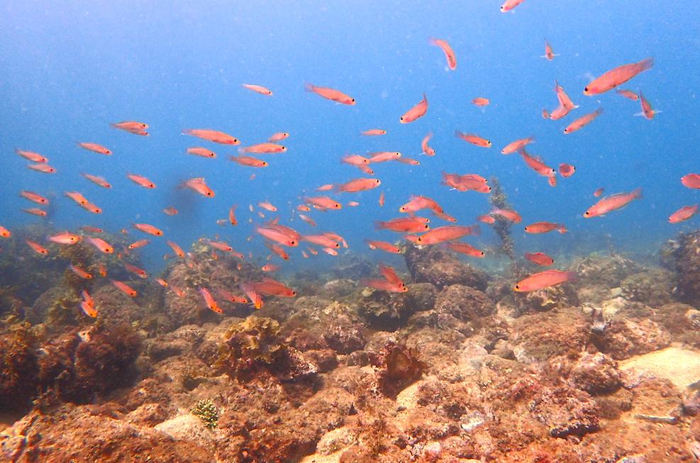 オレンジの魚の群れ