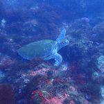 北川の海でアオウミガメに遭遇!