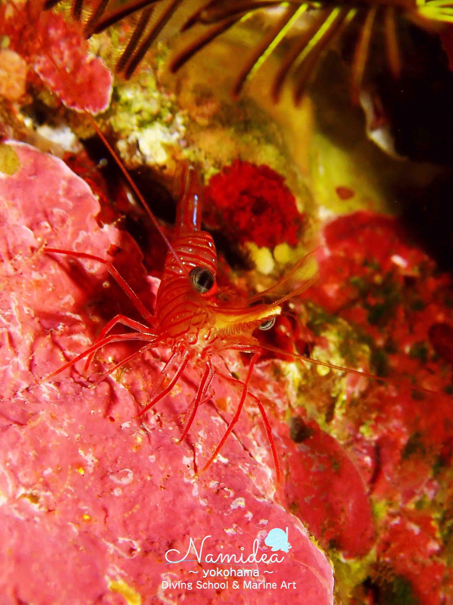 伊豆海洋公園写真 サラサエビ
