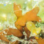 幼魚がたくさんの海!ついに出会えたスルガリュウグウ!