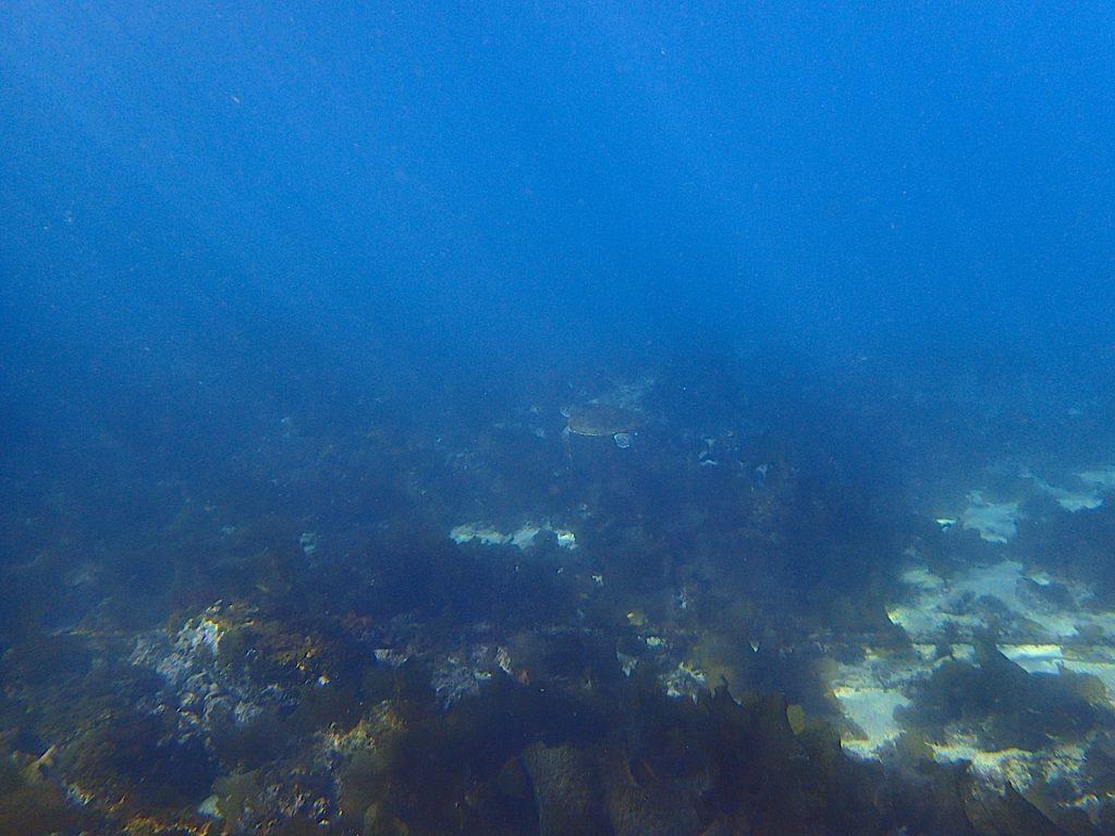 平沢ダイビングツアー アオウミガメ