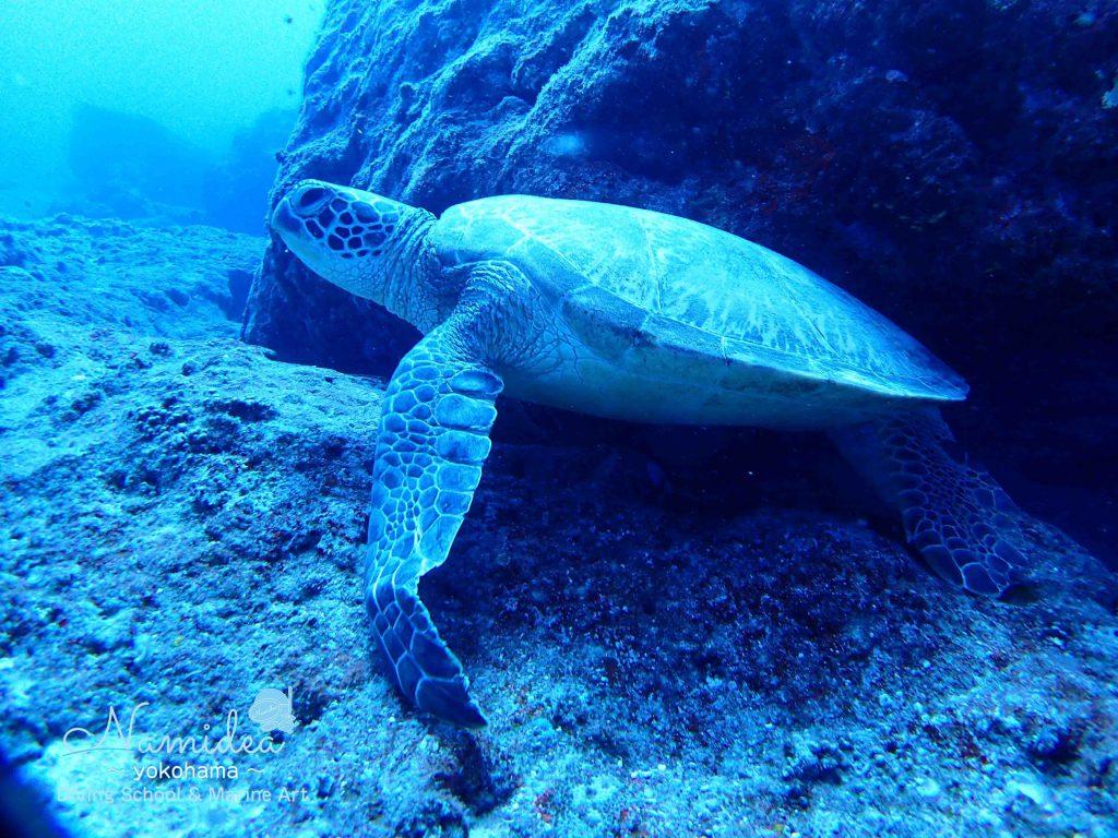 グアムのウミガメ