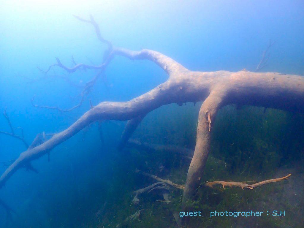 富士五湖本栖湖での淡水ダイビング沈木