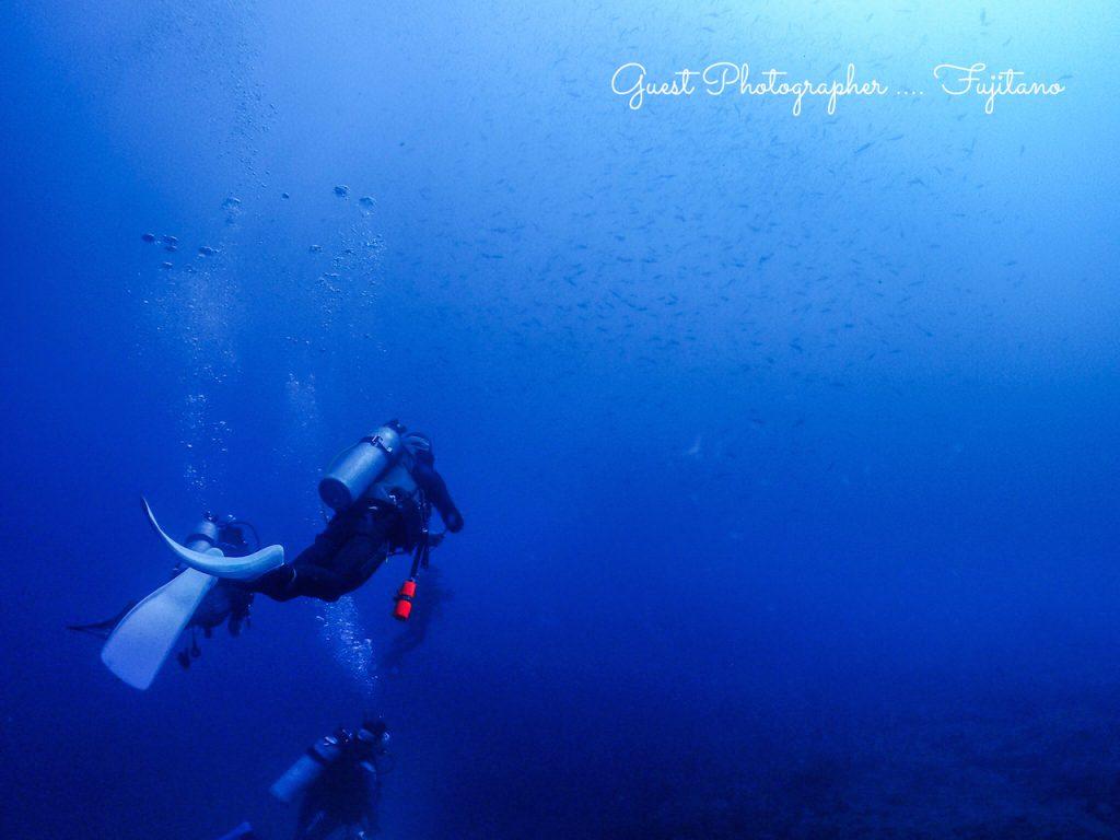 ナミディア秋の神子元島ハンマーヘッドシャークツアーで見た魚の群れ