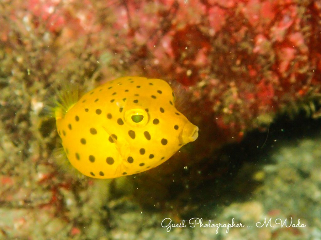 富戸ヨコバマの海はまだまだ幼魚もたくさん:ハコフグ