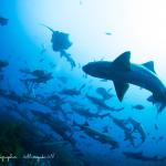 週末はサメパラダイス!今週もツアーに講習に楽しんで来まーす!