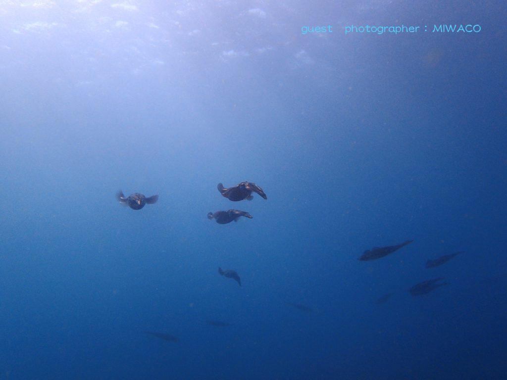 ナミディア平日ツアーでアオリイカの大群を発見!