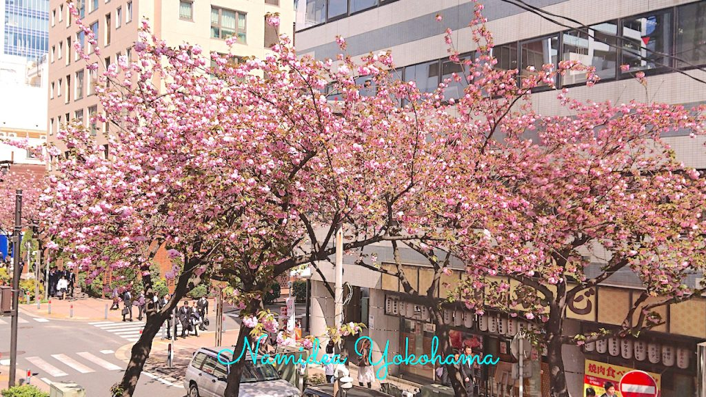お店の前の八重桜が見頃を迎えました!