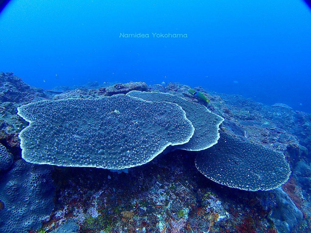 三宅島カタン崎のテーブルサンゴ