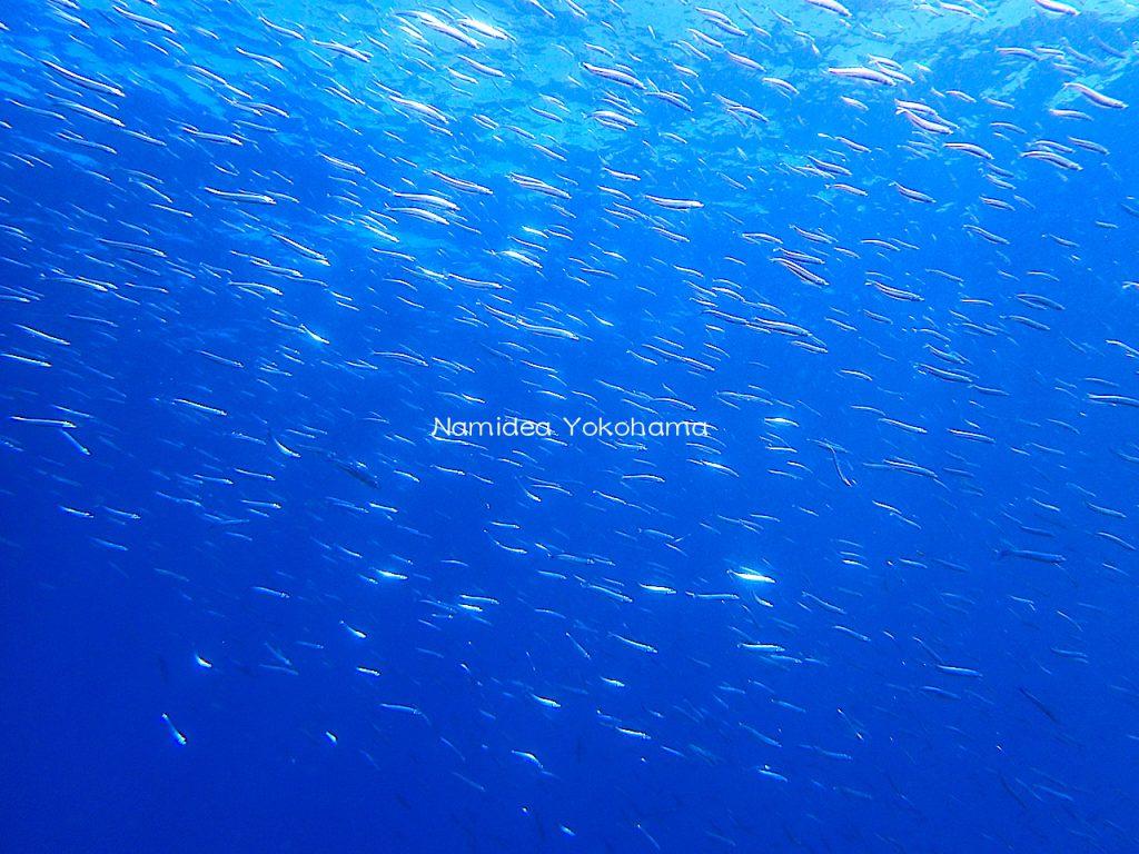 Namidea 初島は魚のお祭り状態