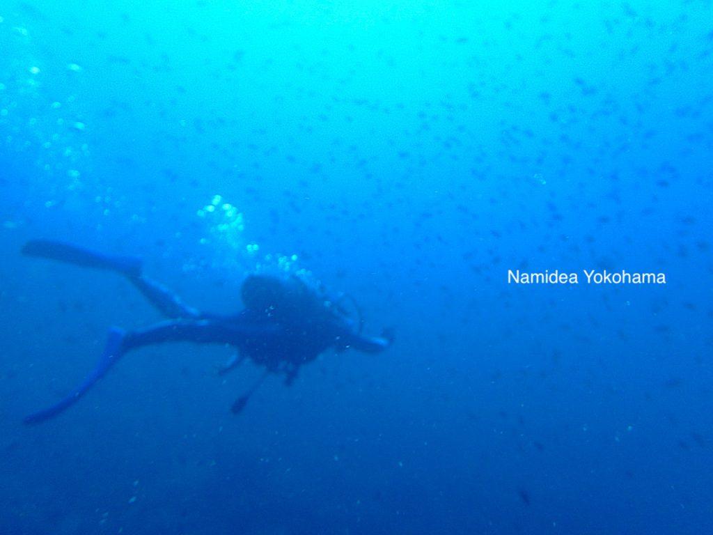 青さと群れが最高の時期 Namidea平日井田ツアー
