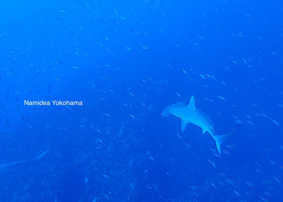 Namidea Yokohama 振り返ったらそこにいました!ハンマーヘッドシャーク