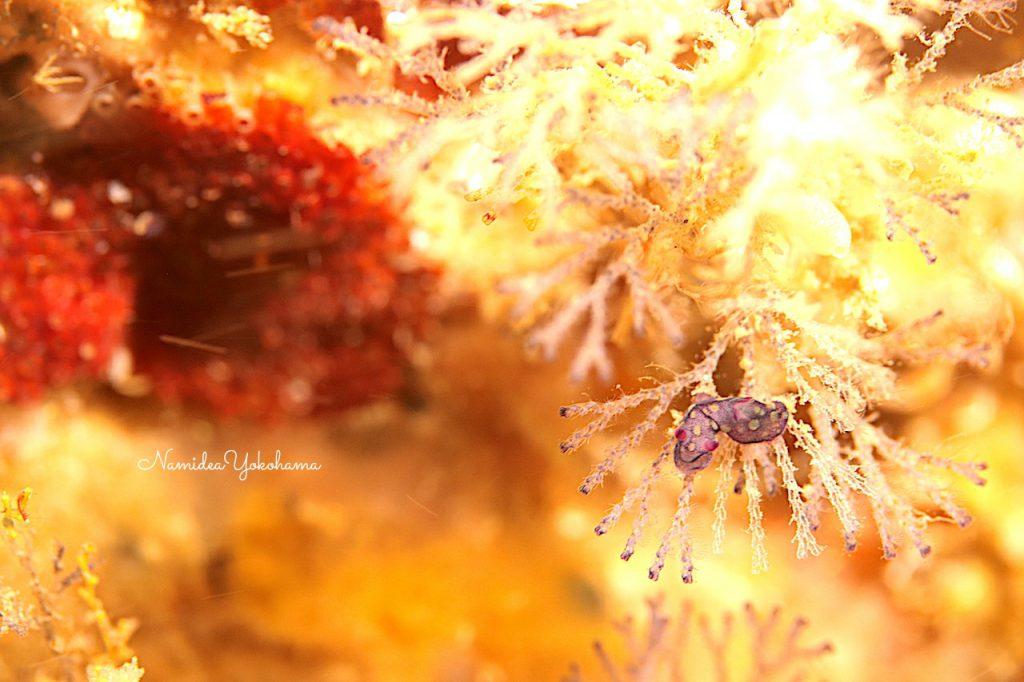 Namidea もはや小さすぎるウミウシ