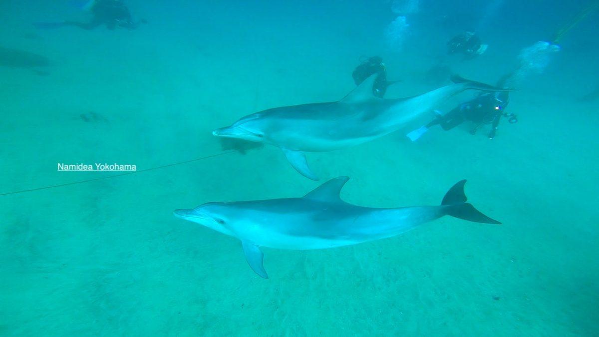 ミナミバンドウイルカ 初島 ダイビング