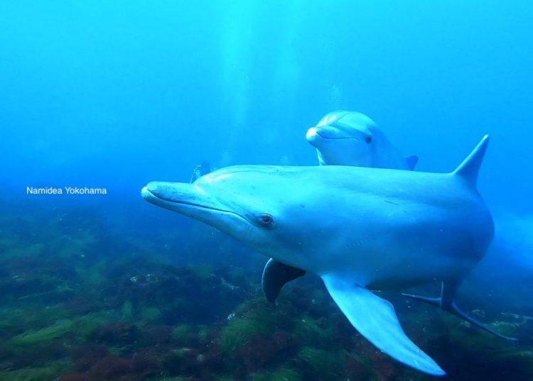 初島のイルカはこんなに近くに寄ってきます