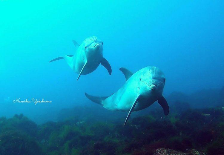 絶対にこっちを見てくれていると思いたい!初島のミナミバンドウイルカ