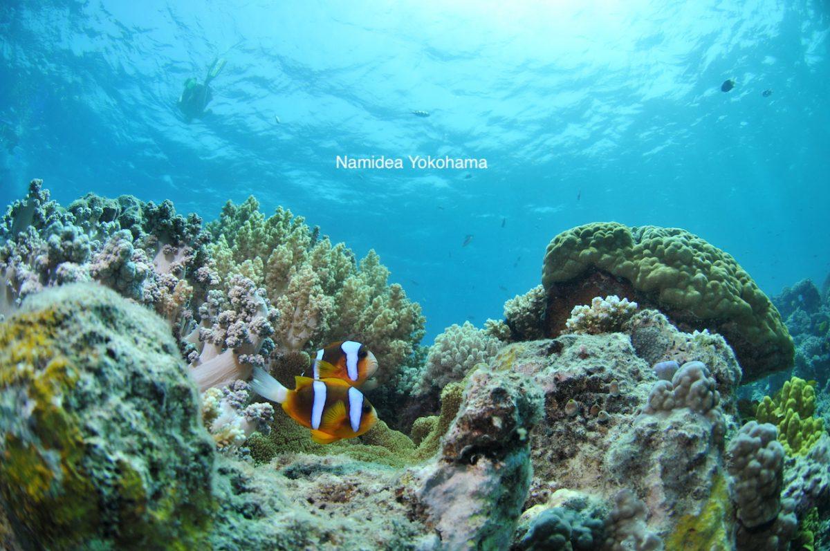 GBRのAnemone Fish