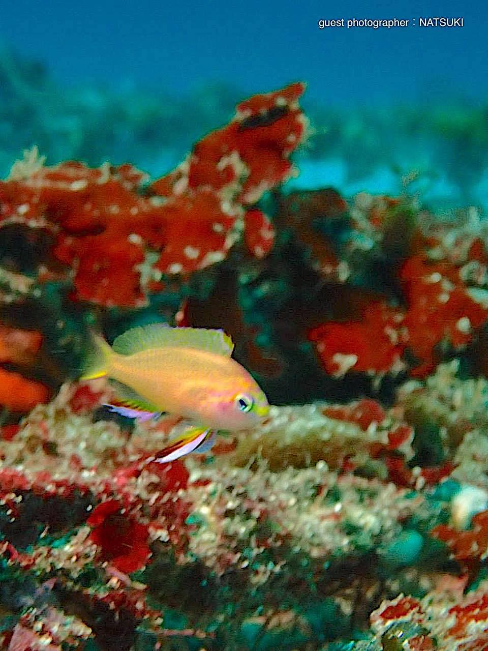 キシマハナダイの幼魚