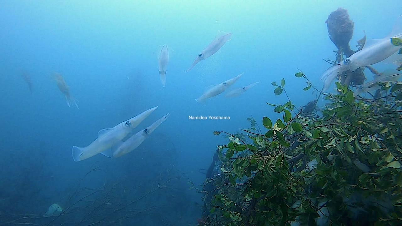 福浦のアオリイカがすごい