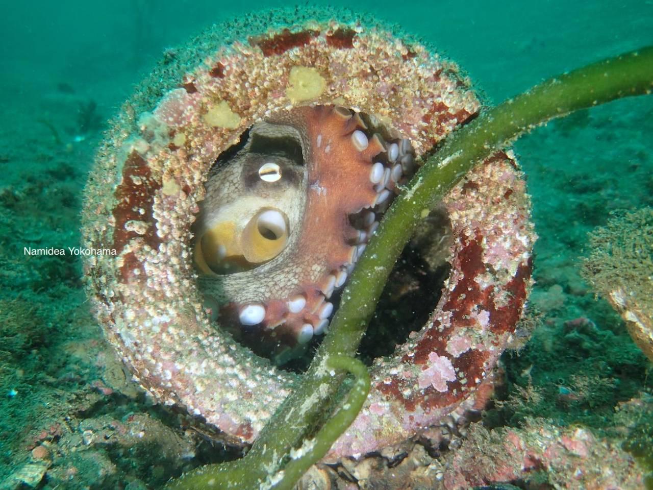 蛸壺にタコ