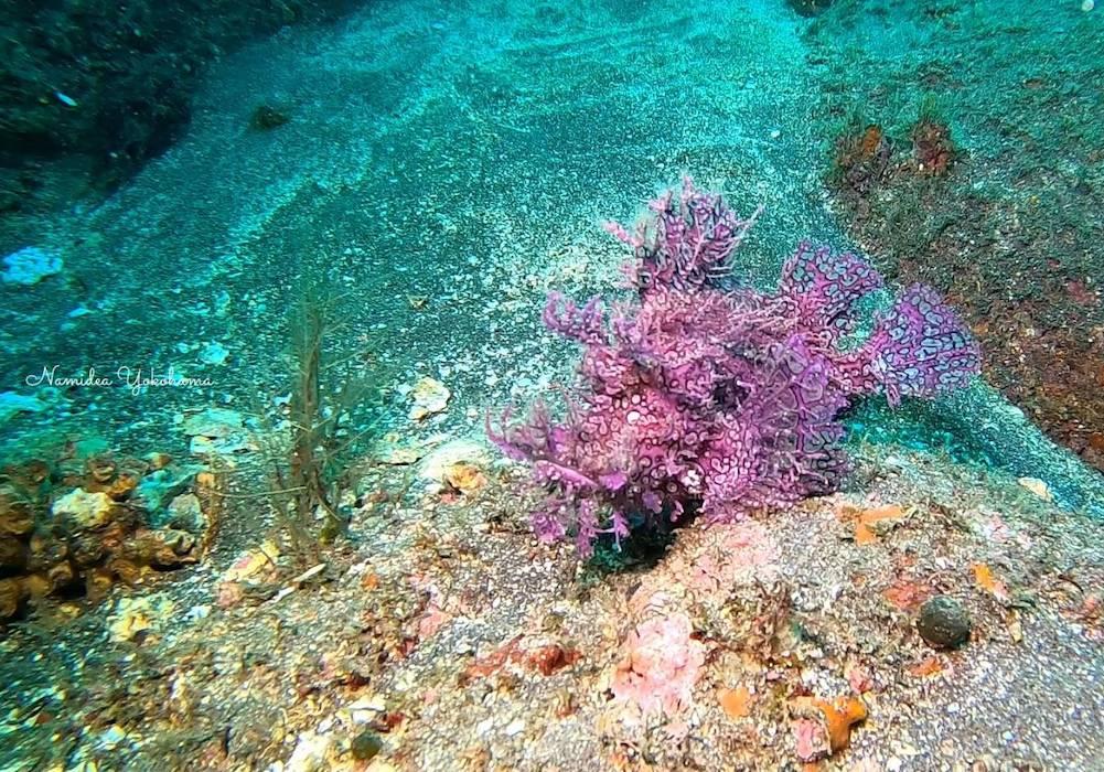 紫色のボロカサゴ
