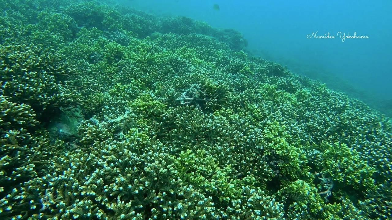 田子白崎の枝サンゴ