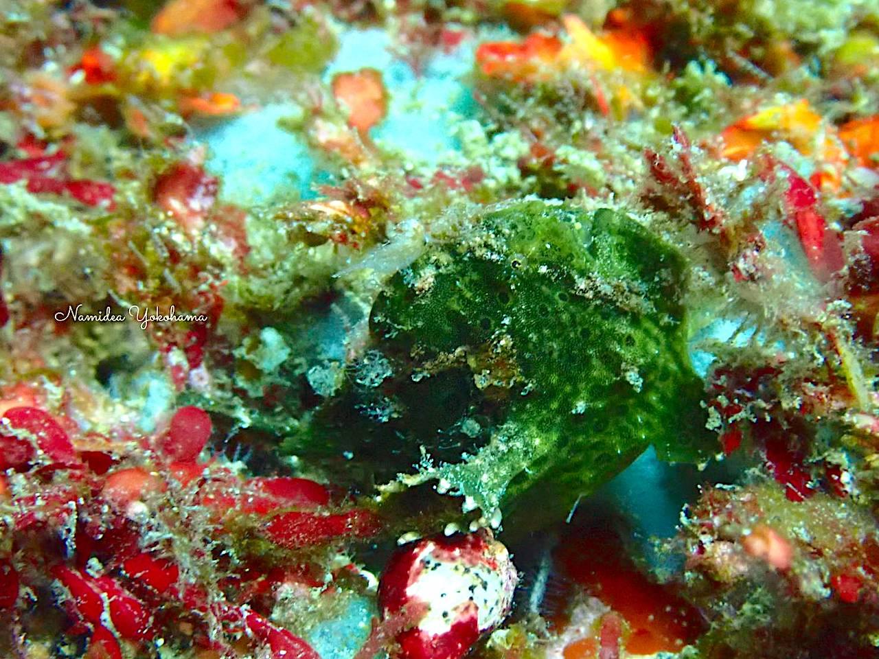 ライトなし 緑色のイロカエルアンコウ 伊豆海洋公園