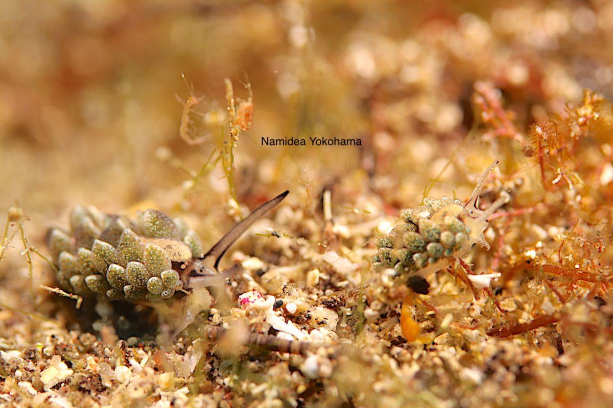 オオアリモウミウシ